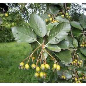 Sølvrøn (Sorbus intermedia ''Brouwers') - Træ i potte 150-175 cm
