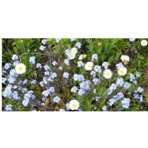 Blomstermark. Staudeeng. Flerårige blomster (Dækafgrøde).