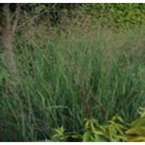 Staudehirse (Panicum virgatum 'Heavy Metal') - Græs i 1 liter potte