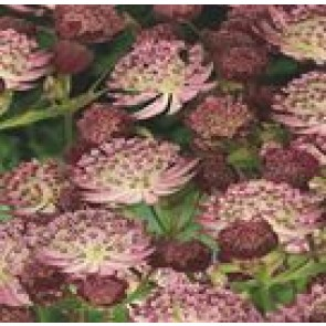 Stjerneskærm (Astrantia hybrid 'Star of Passion') - Staude i 1 liter potte