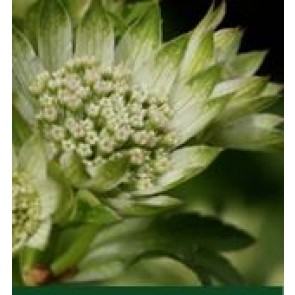 Stjerneskærm (Astrantia hybrid 'Star of Billion') - Staude i 1 liter potte
