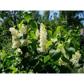 Ægte syren (Syringa vulgaris 'Primrose') - C 10