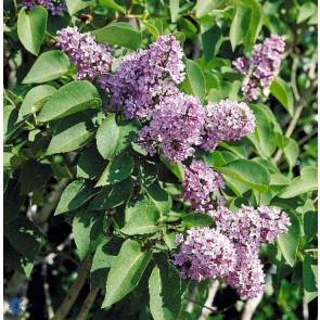 Almindelig syren (Syringa vulgaris) C5