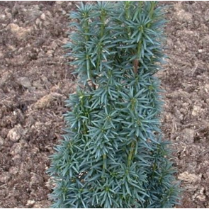 Taks (Taxus baccata 'Robusta Green') - 2 liter potte 40-50 cm