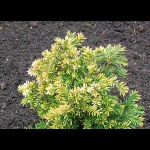 Taks (Taxus baccata 'Semperaurea') - 2 liter potte 40-50 cm