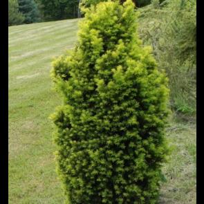 Almindelig taks (Taxus baccata 'David') - 2 liter potte 40-50 cm