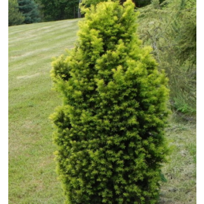 Almindelig taks (Taxus baccata 'David') - 5 liter potte 50-60 cm