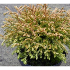 Thuja (Thuja occidentalis 'Golden Tuffet') - 2 liter potte 15-20 cm