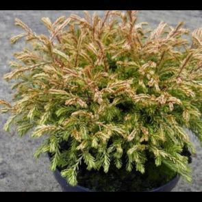 Thuja (Thuja occidentalis 'Golden Tuffet') - 2 liter potte 15-20 cm