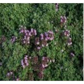 Lodden Timian (Thymus praecox var. pseudolanuginosus) - Staude i 10 x 10 cm potte