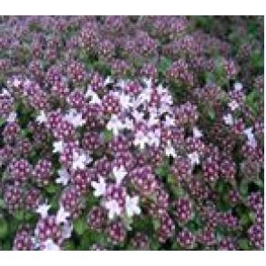 Timian (Thymus praecox 'Pink Chintz') - Staude i 10 x 10 cm potte - Sælges kun i pakke á 3 stk.