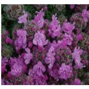 Timian (Thymus praecox 'Pygmaeus') - Staude i 10 x 10 cm potte - Sælges kun i pakke á 3 stk.