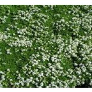SmalbladetTimian (Thymus praecox 'Albiflorus') - Staude i 10 x 10 cm potte