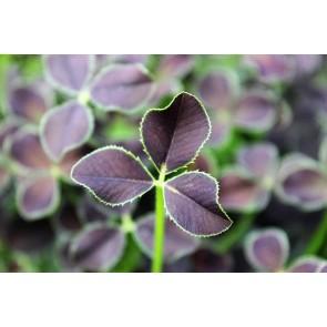 Prydkløver 'Dark Debbie' (Trifolium repens 'Dark Debbie')