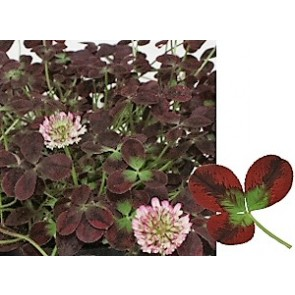 Prydkløver 'Isabella' (Trifolium repens 'Isabella')