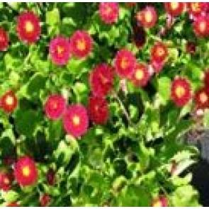 Tusindfryd (Bellis perennis 'Planet Red') - Staude i 10 x 10 cm potte - Sælges kun i pakke á 3 stk.