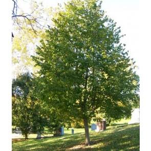 Tyrkisk hassel (Corylus colurna) - Træ i potte 175-200 cm