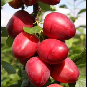 Mirabel 'Ruby' (Prunus cerisifera 'RUBY') - 150 - 175 cm