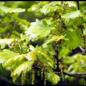 Vintereg (Quercus petraea)  -Træ i potte 175- 200 cm
