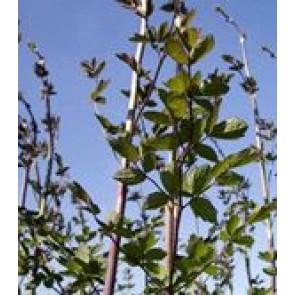 Violfrøstjerne (Thalichtrum delavayi 'Elin') - Staude i 1 liter potte - Sælges kun i pakke á 3 stk.