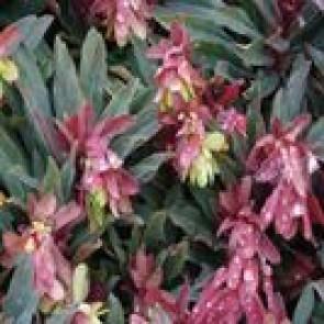 Vortemælk (Euphorbia amygdaloides 'Purpurea') - Staude i 1 liter potte