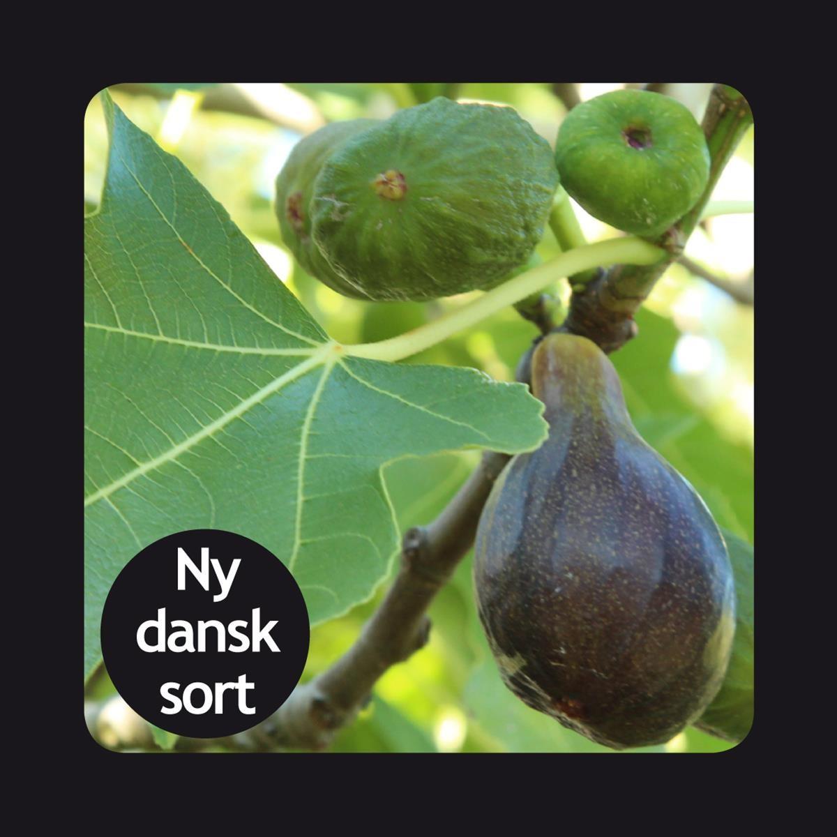 Figen 'Røsnæs' (Ficus carica 'Røsnæs') C 17cm