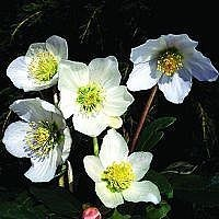 Almindelig julerose 'Praecox' (Helleborus niger 'Praecox') - CO