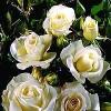 Buketrose (Rosa 'Gråsten') - A-kval. Barrodet - Sælges kun i bundter a 5 stk