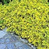 Krybende benved (Euonymus fortunei 'Emerald Gold') -  10½  cm potte