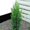 Cypres (Chamaecyparis laws. 'Columnaris Glauca') - Med jordklump 60-80 cm