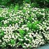 Birkebladet Spiræa (Spiraea betulifolia) Buske i 3,5 liters potte