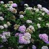 Spiræa (Spiraea japonica 'Little Princess') - Buske i 3,5 liters potte
