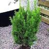 Taks (Taxus media 'Hillii') - Potte 50-60 cm