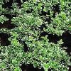 Krybende benved (Euonymus fortunei 'Emerald Gaiety') - 10½ cm potte