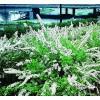 Spiræa (Spiraea cinerea 'Grefsheim') - Barrodet hæk 50 - 80 3 års