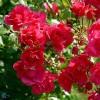 Bunddækkende rose (Rosa 'Sommermärchen'®) - A-kval. Barrodet Sælges kun i bundter a 5 stk