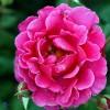 Buketrose (Rosa 'Prinsesse Alexandra' ® Pouldra (N)) - A-kval. Barrodet - Sælges kun i bundter a 5 stk