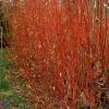 Rødgrenet kornel (Cornus alba 'Sibirica') - Buske i 5 liters potte