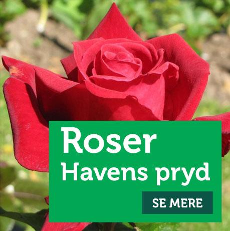 Roser - havens pryd